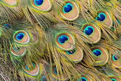 Peacock Train Feathers Stock Images