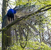 Peacock 5 Royalty Free Stock Photo