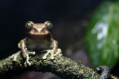 Peacock Tree Frog Stock Photography