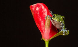 Peacock tree frog. A little peacock tree frog on a bright red flower isolated on a black background Stock Images