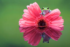 Peacock tree frog. A little peacock tree frog on a pink gerbera flower in a reflection pool Stock Photo