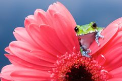 Peacock tree frog. A little peacock tree frog on a pink gerbera flower in a reflection pool Royalty Free Stock Photo