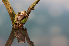 Peacock tree frog. A little peacock tree frog in a reflection pool Royalty Free Stock Photography