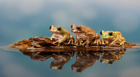 Peacock tree frogs. Three little peacock tree frogs floating on an old piece of driftwood in a reflection pool Stock Photos