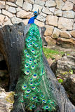 Peacock on a tree trunk Royalty Free Stock Photo