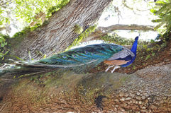 Peacock on the tress. Peacock on the tree in garden Royalty Free Stock Image