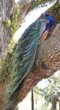 Peacock on the tress. Peacock on the tree in garden Stock Photos