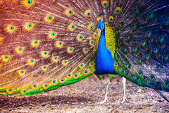 Peacock in a tropical forest with feathers out Stock Photo