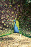 Peacock in tropical forest with feathers out, retro photo filter Royalty Free Stock Photography