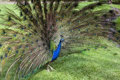 Peacock trying to impress female Royalty Free Stock Images