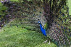 Peacock trying to impress female Stock Image