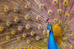 Peacock. Are two Asiatic and one African species of flying bird in the genus Pavo of the pheasant family, Phasianidae, best known for the male's extravagant eye stock images