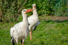 Peacock. Two white stork walk on the farm Royalty Free Stock Photography
