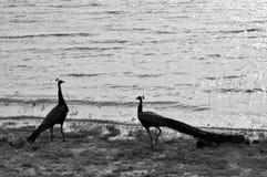 Peacock. Udawalawa Srilanka at 4.30 pm Stock Image