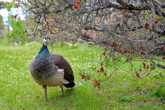Peacock under Chaenomeles Speciosa tree. Curious female peacock came closer for a portrait under a Chaenomeles Speciosa tree. This time of the year is spring and stock photo