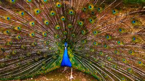 Peacock with unfolded tail. Stock Photos