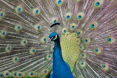 Peacock. A Peacock unfurling its feathers Stock Image