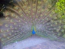 Peacock Vereeniging Στοκ Εικόνες
