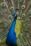 Peacock vertical Royalty Free Stock Photos