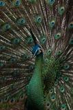 Peacock Royalty Free Stock Photos