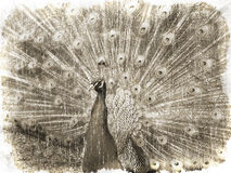 Peacock (vintage style) Stock Images