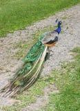 Peacock walking Royalty Free Stock Images