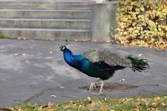 The peacock walks in the city garden stock images