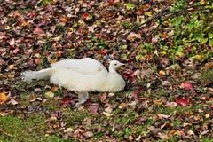 The peacock walks in the city garden stock photos