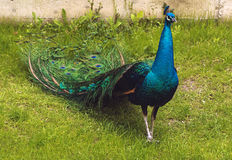 Peacock walking on green grass Stock Image