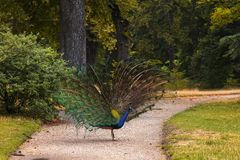 Peacock walking on a path in the park Stock Photography
