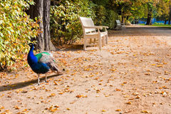 Peacock walks the alley in Lazienki park, Warsaw Stock Photography