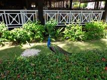 Peacock walks around hotel territory royalty free stock photos