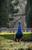Peacock walks in the garden Stock Photos