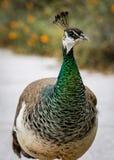 Peacock walks at the San Francisco Zoo. Peacock walks on the sidewalk at the San Francisco Zoo stock photo