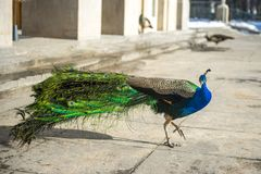 Peacock in full dress walks in Lazienki Park in Warsaw royalty free stock photography