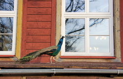 Peacock walks the visor of the house Royalty Free Stock Images