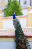 Peacock on the wall Royalty Free Stock Photography