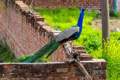 Peacock on a Wall outside my house royalty free stock photos