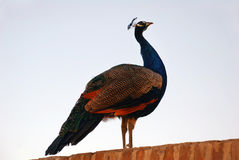 Peacock on the wall Stock Photo
