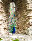 When the Peacock is Watching. A peacock showing off its huge plumage in the Sao Jorge castle, Lisbon Stock Photos