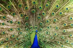 Peacock Wheel Stock Image