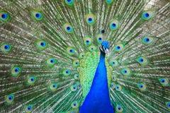Peacock wheel close up Royalty Free Stock Photo