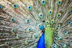 Peacock wheel close up Royalty Free Stock Photos
