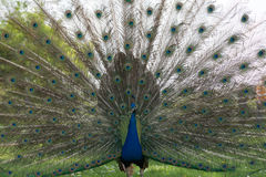 Peacock wheel Stock Images