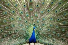 Peacock wheel Royalty Free Stock Photos