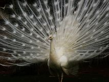 peacock white στοκ φωτογραφία