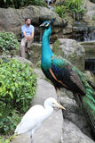 Peacock and white bird with visitor Royalty Free Stock Images