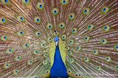 A peacock with a wide tail Royalty Free Stock Photo