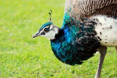 Peacock in the wild on the island of Sri Lanka.  Royalty Free Stock Images