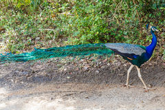 Peacock in wild nature Stock Photography